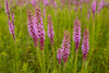 Prairie Blazing Star in early August