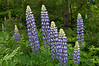 FLWR-11075: Blue Lupines (Lupinus polyphyllus)