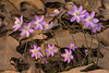 Sharp-lobed Hepatica grouping