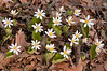 FLWR-11019: Bloodroot Group (Sanguinaria candensis)
