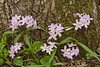 7003-Spring Beauty (Claytonia virginica)