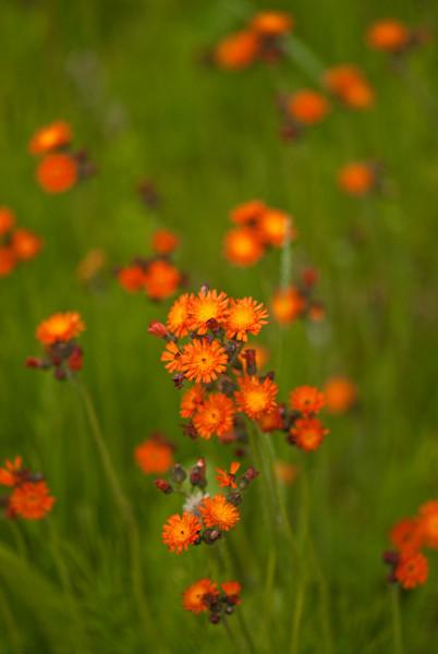 FLWR-10058: Orange Hawkweed