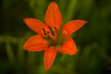 Soft Focus Wood Lily