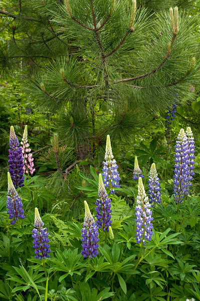 FLWR-11077: Lupine in the pines (Lupinus polyphyllus)