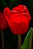 Ree Tulip