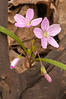 FLWR-11046: Spring Beauty (Claytonia virginica)