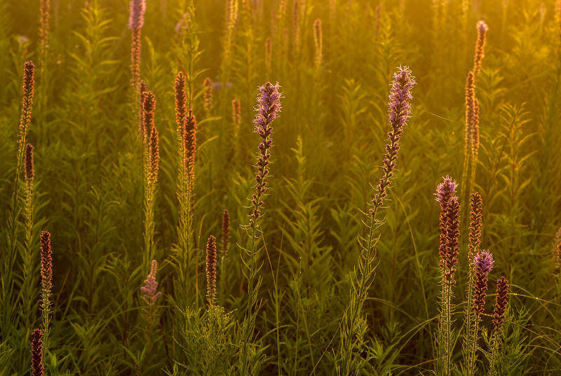 Backlit Prairie Blazing Star