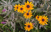 Black-eyed Susans and Lead Plant