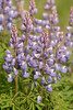 BOT-13-22: Wild Lupine close-up