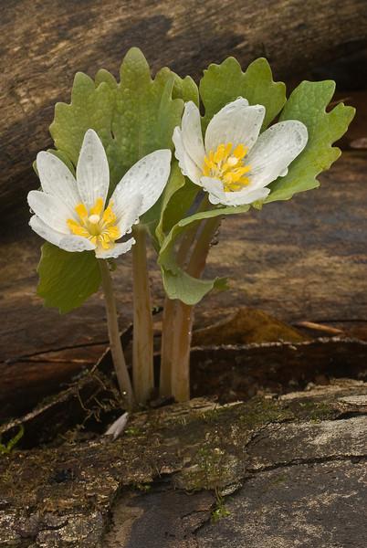 9006-Bloodroot pair (Sanguinaria canadensis)