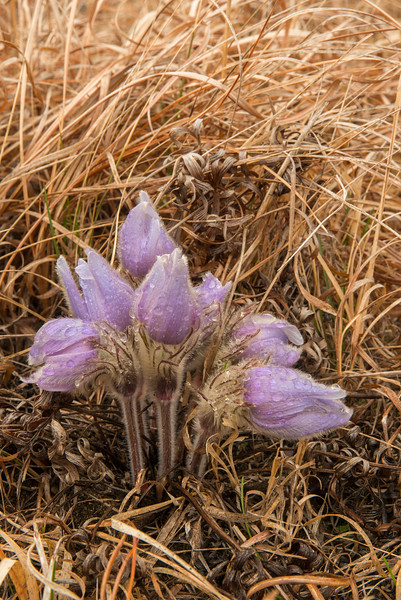 Pasque flowers on a rainy morning