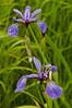 FLWR-11093: Blue Flag Iris (Iris versicolor)