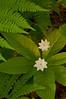 FLWR-11061: American Star Flowers (Trientalis borealis)