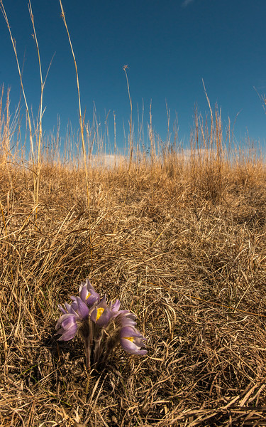 Pasque flowers in prairie