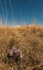 Pasque flowers in prairie