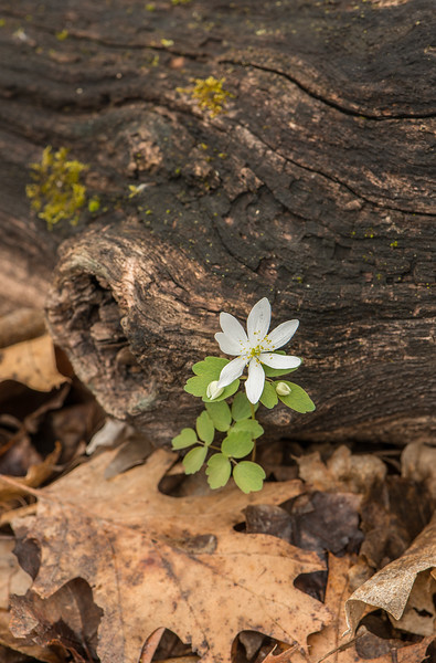 Lone False Rue-anemone