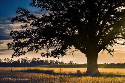 Missouri's Famous Burr Oak Tree