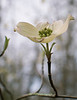 First Dogwood of Spring
