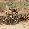 Wild dogs digging out a warthog trapped down an Aardvark burrow - they have just grabbed their prey