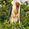Marabou Stork with two tiny chicks