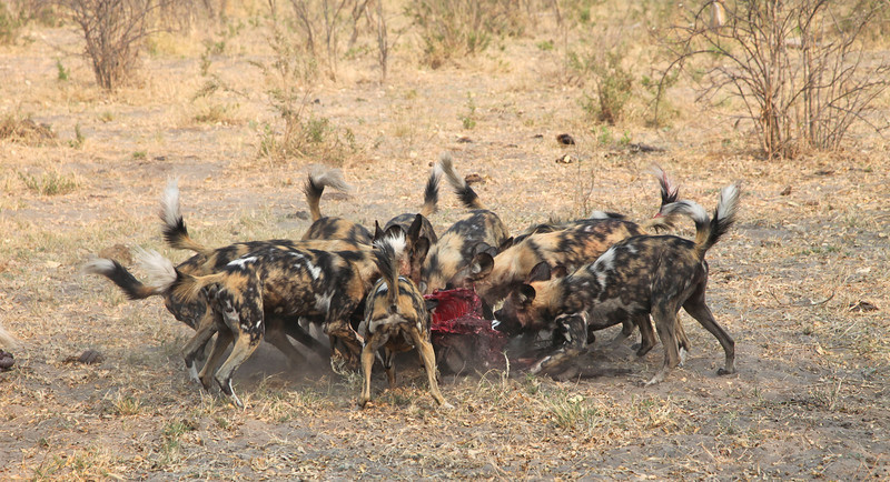 Wild dogs digging out a warthog trapped down an Aardvark burrow - they are making short work of devouring the poor creature