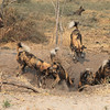 Wild dogs digging out a warthog trapped down an Aardvark burrow