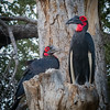 Southern Ground-hornbill