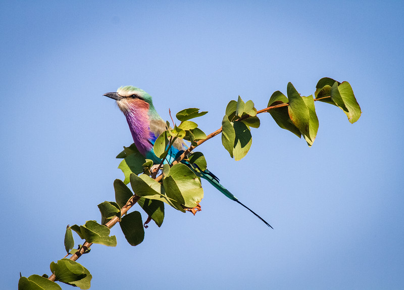 Lilac-breasted Roller on branch