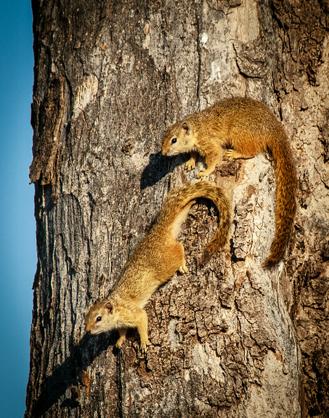 Tree Squirrles