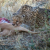 Cheetah enjoying Impala