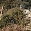 Giraffes watching Lions