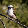 Southern White-crowned Shrike with Insect