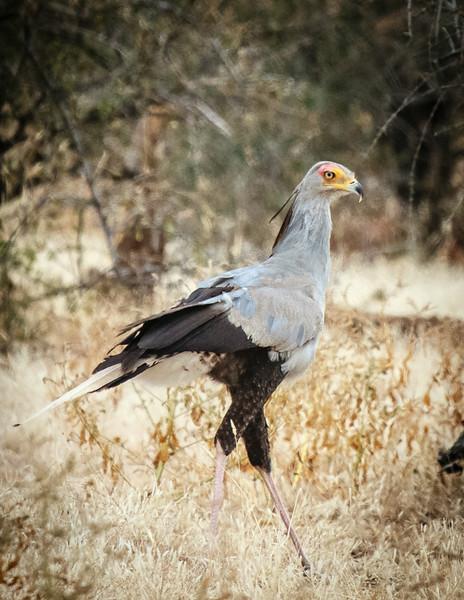 Secretarybird, Mashatu