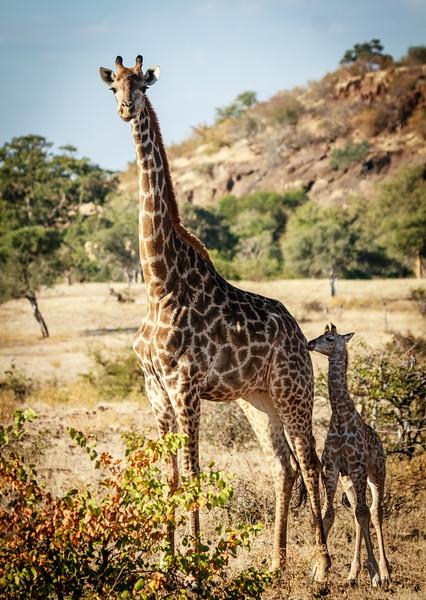 Giraffe Mom and baby