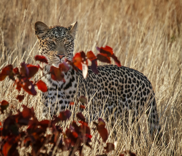 Leopard in High Grass