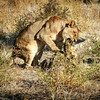 Lion Snacking