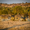 Zebraw herd