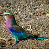 Lilac-breasted Roller with insect