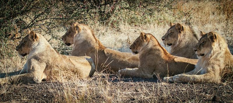 Lions watching Giraffe