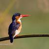 Malchite kingfisher