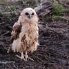 Juvenile Peles Fishing Owl