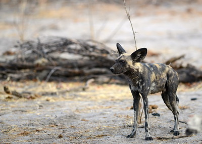 African Wild Hunting Dog