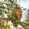 Peles Fishing Owl