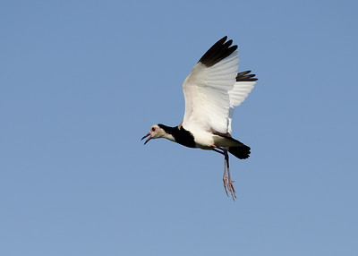 Long Toed Lapwing