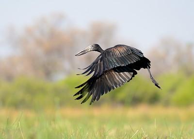 African Open bill Stork