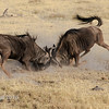 Wildebeest Fighting