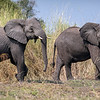 "A pair of African elephants I photographed in Botswana! They were on a tree island in the delta then bulldozed a trail straight through the ten foot high reeds like a person walking through knee high grass!<br /> <br /> Being in the wild, on foot in the bush with them was so incredible, they're so huge and amazing. It was just mind blowing to be near them in the wild, I was speechless. And hearing them! Wow that was special. We were lucky enough to encounter elephants almost every day of the trip, one day it was a group of 20! <br /> Photographed with a Sony A7riii with a Metabones mark V adapter and Canon 100-400 telephoto lens. If you enjoy my photos I always read and appreciate comments, also feel free to share and see more at my website  <a href=""http://www.ChrisGillette.com"">http://www.ChrisGillette.com</a> <br /> #elephant #wildelephant #africa #botswana #pachyderm"