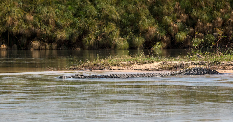 """Checkout the size of this massive Nile crocodile I photographed in the Okavango Delta in Botswana recently. This was one of the larger individuals we saw, estimated around 15ft. They get larger than that even, although truly huge individuals are difficult to find due to hunting by humans. Nile crocs are well known for taking down a variety of large mammalian prey in Africa, such as wildebeest, zebra, gazelles and more. Since they're very used to taking large prey, something """"small"""" like an adult human is easy prey and people in the area must be very wary near the water. Some studies estimate roughly between 300-700 humans a year are eaten by Nile crocs, but the number is difficult to ascertain in remote villages with no annual consensus or record keeping. A remote area villager's dependence on gathering water from the bank also makes them far more susceptible to attack than people in developed areas, leading to such a high number. <br /> We didn't observe any aggressive behavior from any of the crocs on this trip, and it was amazing to see them in their natural habitat. I actually caught a Nile crocodile in the Everglades a couple of years ago with some of my colleagues, it was one of three Nile crocodiles captured in the Everglades that escaped from a local facility. There is not a known population of breeding Nile crocodiles in the Everglades<br /> Photographed with a Sony A7riii with a Metabones mark V adapter and Canon 100-400 telephoto lens."""