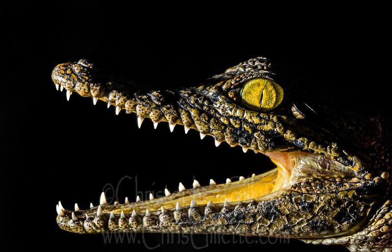 Baby nile croc