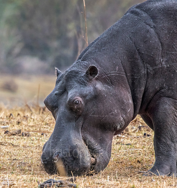 Up close with a lone hippo